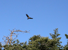 Soaring eagle (Librarianguish) Tags: walk gorgeous bluff sunnyday 212 ebeyslanding unseasonablywarm