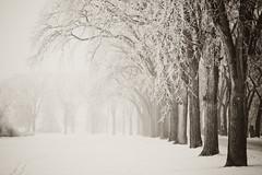 Misty Assiniboine park (midst of winter) Tags: winter snow frost winnipeg hoarfrost manitoba depthoffield fantasy assiniboinepark shallowdepthoffield elmtrees