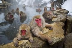 Snow Monkeys (Callocephalon Photography) Tags: specanimal specanimalphotooftheday