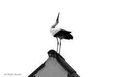 Punta in Alto (Zardini Walter) Tags: primavera fauna danza punta summit amore cima uccello cicogna