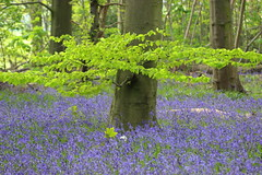 Bluebell Wood (Cal ~) Tags:
