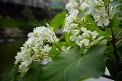 """Tung flowers"" (ddsnet) Tags: camera plant flower lens sony hsinchu taiwan resolution   ilc        sinpu hsinpu 7r interchangeable maysnow mirrorless  tungflowers   interchangeablelenscamera 7r ilce7r"