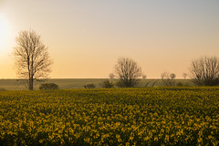 Early morning light (Infomastern) Tags: field yellow landscape dawn countryside raps canola rapeseed landskap geolocation sdersltt flt landsbygd gryning geocity camera:make=canon exif:make=canon geocountry geostate exif:lens=efs18200mmf3556is exif:aperture=80 exif:focallength=60mm exif:isospeed=100 camera:model=canoneos760d exif:model=canoneos760d