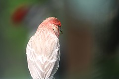 House Finch (Moschell) Tags: house nature birds spring backyard wildlife may finch handheld local housefinch in 2016 moschell