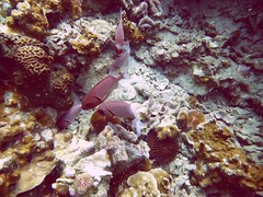 Koh Tao (Scuba Diving), Thailand (Jan-2016) 14-067 (MistyTree Adventures) Tags: ocean sea fish water coral thailand twins marine asia seasia underwater outdoor diving scubadiving kohtao gulfofthailand panasoniclumix