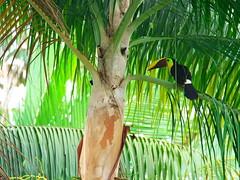 P4278792 (lychee_vanilla) Tags: bird animal toucan costarica tier tucn blackmandibledtoucan ramphastosambiguus vigel quioro tucnpiconegro