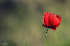 Red poppy (Elisa.95) Tags: flowers red italy macro green nature grass wow nikon bokeh details poppy