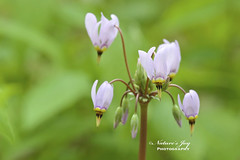 SHOOTING STAR (Natures Joy Photography) Tags: star illinois purple shooting elgin wildflower shootingstar kanecountyforestpreserve jonjduerrforestpreserve