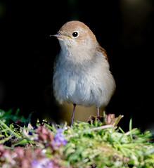 JWL7962  Nightingale..... (jefflack Wildlife&Nature) Tags: nature birds countryside woodlands wildlife avian nightingale songbirds wildbirds hedgerows thrushes