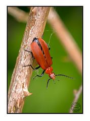 cardinal beetle (Richard Leah Photography) Tags: macro nature closeup wildlife insects bugs beetles cardinalbeetle sigma105mm nikond800