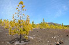 Corona Forestal (YellowSingle ) Tags: mountain island volcano spain nikon corona canary teide f28 d300 forestal 1755mm