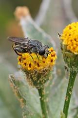 Lejops polygrammus (carlos mancilla) Tags: insectos flies moscas ef100mmf28macrousm canoneos550d canoneosrebelt2i lejopspolygrammus