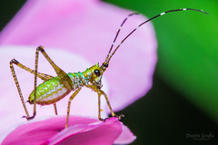 Katydid Nymph On Rose (Dustin Graffa) Tags: county macro canon insect pennsylvania lancaster nymph katydid lancasterpennsylvania