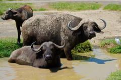 Buffalo's taking a beauty bath - at Lake Baringo - Kenya (Ferdi's - World) Tags: africa bridge geotagged kenya kenia gamedrive buffel djoser lakenakuru synceruscaffer africanbuffalo kafferbuffel baringomeer oneofthebigfive ferdisworld afrikaansebuffel nikkorafs7020028 nikond7000 keniaentanzaniareis2011 nakurunationaalpark geo:lat=0344813 geo:lon=36074135