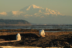 What is better than 1 snowy owl? 2 snowy owls and their friends (Eyesplash - There is a change in the air.) Tags: trees snow mountains inflight eagle pair tail baldeagle beak feathers camouflage sparrow guns cormorant midair shotgun bullets juvenile mates hunters redtailhawk snowyowl nycteascandiaca trumpeterswans
