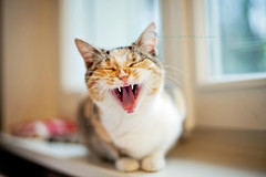 Yawning...or roaring? (*Les Hirondelles* Photography) Tags: cat roar yawn toroar toyawn catyawning catroaring teeth catteeth caninetooth tongue cattongue pet kitten kitty dakota window winter home interior italianhouse italy italian catmuzzle tired tiredcat feline portrait canon leshirondellesphotography whisker whiskers catwhiskers paws catpaws bokeh dof december softness soft