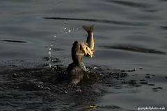 Cormorant1211 5 (gcampbellphoto) Tags: canon urbanwildlife northernireland cormorant prey predator seatrout seabird irishwildlife