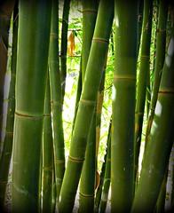 ~~DiNaH'S GarDeN HoTeL #1~~ (TravelsThruTheUniverse) Tags: tropicalplants exoticgardens asiangardens tropicalgardens tropicalfoliage californiagardens timberbamboo subtropicalgardens 100commentgroup lumberbamboo tropicallandscapes bambusaoldhamii mygearandme subtropicallandscapes