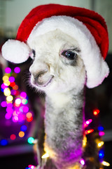The Season is The Reason (Tc Morgan) Tags: california ranch christmas ca xmas winter baby flower cute love alpaca beautiful closeup female wonderful season nose lights soft fuzzy happiness christmaslights indoors merry cuteness happyholidays merrychristmas santahat consciousness affluence alpacas hohoho cria camelid huacaya tcmorgan insightranch