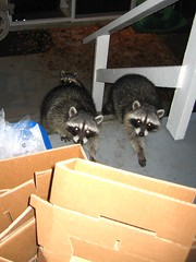 Bold nightly visitors (Blythe Spa Time) Tags: wild animals night stuffed furry columbia porch british raccoon masked visitors recycling scavengers villians