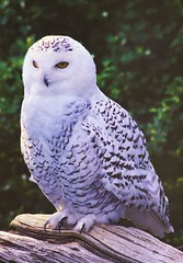 Snowy owl (Thank you for 1.5 Million views) Tags: bird nature stone zoo snowy owl mass stoneham
