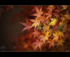 Not Christmas Yet But Definitely Close (Lemuel Montejo) Tags: autumn red colors night leaf maple nikon momiji d700 nikon2470