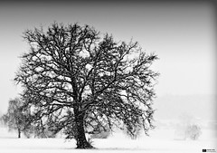 Let It Snow, Let It Snow, Let it Snow (Daniel Wildi Photography) Tags: snowflake winter blackandwhite bw snow tree monochrome switzerland google song snowfall heavy letitsnow easteregg rubigen 2011 cantonbern visipix trimstein danielwildiphotography