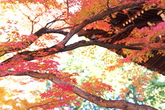 Momiji '11 - autumn leaves #15 (Sinnyo-dou temple, Kyoto) (Marser) Tags: japan temple kyoto raw autumnleaves   x100 silkypix  finepixx100