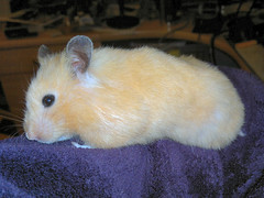 Wear Your Hamster On Your Sleeve!
