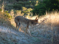 I crossed paths with a coyote this morning. I thought he was looking at me when I took this picture. Darn it! (chuck b.) Tags: pointreyes firelane pointreyesnationalseashore coastcamp lagunatrail