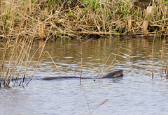 OTTER SWIMMING at STRUMPSHAW FEN (jdoakey) Tags: uk greatbritain england brown reed animal swimming swim reeds day britain sony great norfolk bank calm otter norwich british alpha dslr fen animalplanet oakley bullrushes reedbed bullrush calmwater strumpshaw a55 thewildlife strumpshawfen flickraward dslt flickraward sonya55 theinspirationgroup