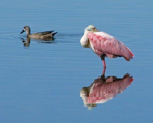 Spoonbill reflections ... and a bonus