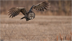 Great Gray Owl in Flight (Raymond J Barlow) Tags: wild ontario canada bird nature nikon tour wildlife adventure owl leamington workshops d300 birdperfect