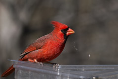 cardinal - Explored (loco's photos) Tags: red bird nature birds animal cardinal pentax wildlife explore kr birdperfect pentaxkr dal55300