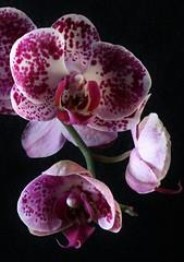 Orchid (Glenn Stuart ( White Rabbit Photography )) Tags: flowers orchid macro nature floral sanantonio canon texas 100mm fantasticnature canon7d