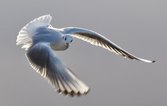 fliegende Mwe (MiriamW77) Tags: flying gull mwe fliegende