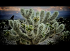 once upon a time (elmofoto) Tags: sunset cactus tree landscape evening joshua dire fav20 fav30 straits 2009 gettyimages cholla 1870 joshuatreenationalpark 1000v fav10 fav40 afsdxzoomnikkor1870mmf3545gifed juici ssfmlm projectthrowback fotofeatmusik elmofoto lorenzomontezemolo