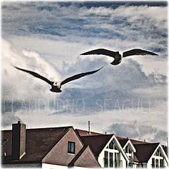Photo of Llandudno seagulls (edit)