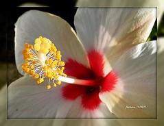 Mallorca -hibisco blanco 2 (ferlomu) Tags: ferlomu flor hibiscum mallorca flower hibisco