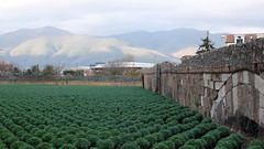 horticultural carpet. ablenga P1150343 (mansionmedia simon knight) Tags: italy italia liguria albenga simonknight mansionmedia