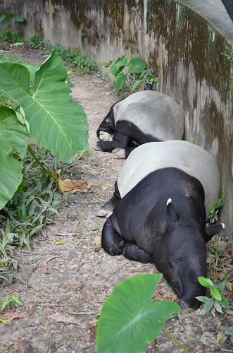 Tapir - the funniest animal ©  Still ePsiLoN