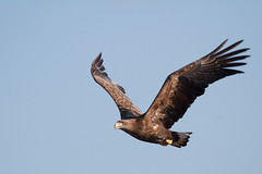 Adolescent White Tailed Eagle #1 - At Yakumo........