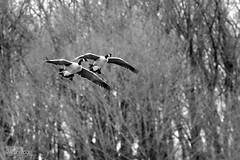 Day 12|366 - Honkers in Flight ... {Explored} ~ Thank you! (∞ RedLoop ∞) Tags: winter white black geese wings nikon flight canadian honkers project366 ∞redloop∞ theateamrallyingforaurelia
