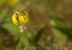 "Glacier Lily • <a style=""font-size:0.8em;"" href=""http://www.flickr.com/photos/63501323@N07/6690763887/"" target=""_blank"">View on Flickr</a>"