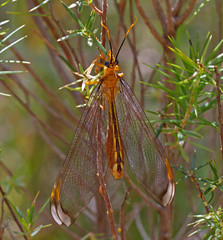 Lacewing (mgjefferies) Tags: geotagged australia queensland lacewing neuroptera insecta granitebelt mgjefferies nymphidae geo:country=australia splitfootedlacewing taxonomy:genus=nymphes taxonomy:binomial=nymphesmyrmeleonoides broadwatersf geo:lat=28634997 geo:lon=151909649 nymphesmyrmeleonoidesleach1814