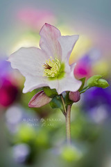 Spring Awakening (Jacky Parker Floral Art) Tags: christmas pink portrait flower macro nature rose vertical closeup garden flora single bloom flowering hellebore orientation helleborus lenten floralessence