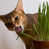 Grass is Good 7 (peter_hasselbom) Tags: cats grass tongue cat mouth 50mm flash usual pot pottedplant abyssinian ruddy eatinggrass 2flashes
