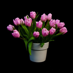 Roze tulpen - Pink tulips (RuudMorijn) Tags: birthday pink flowers red summer white black flower holland color green love nature netherlands floral beautiful beauty dutch amsterdam closeup bulb garden easter season botanical leaf petals spring stem flora colorful pretty purple tulips natural bright blossom vibrant background seasonal group decoration nederland magenta valentine romance fresh petal gift tulip bunch bloom vase romantic florist flowering bouquet botany bos zwart arrangement isolated freshness springtime tulipa tulpen kleurrijk blooming roze zwarte vaas boeket achtergrond nederlandse hollandse