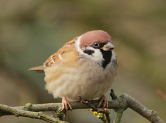 Tree Sparrow [Explored] (bojangles_1953) Tags: bird photo oiseau moineau treesparrow passereau
