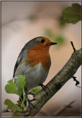 STANDING PROUD (Shaun's Wildlife Images....) Tags: birds robins shaund